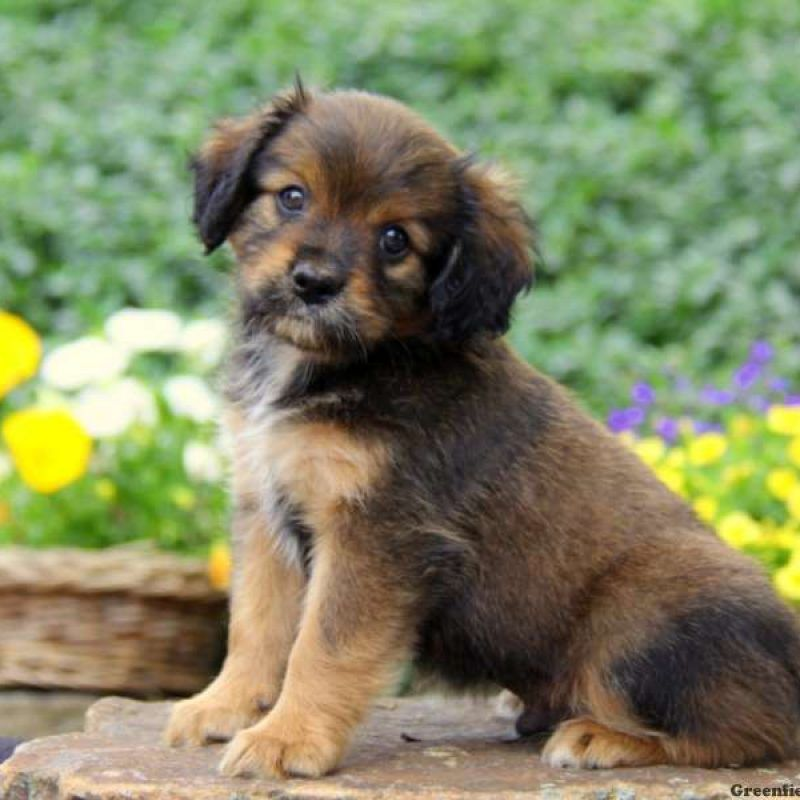 Cavapom Puppies For Sale Puppies Greenfield Puppies Dog Breeds