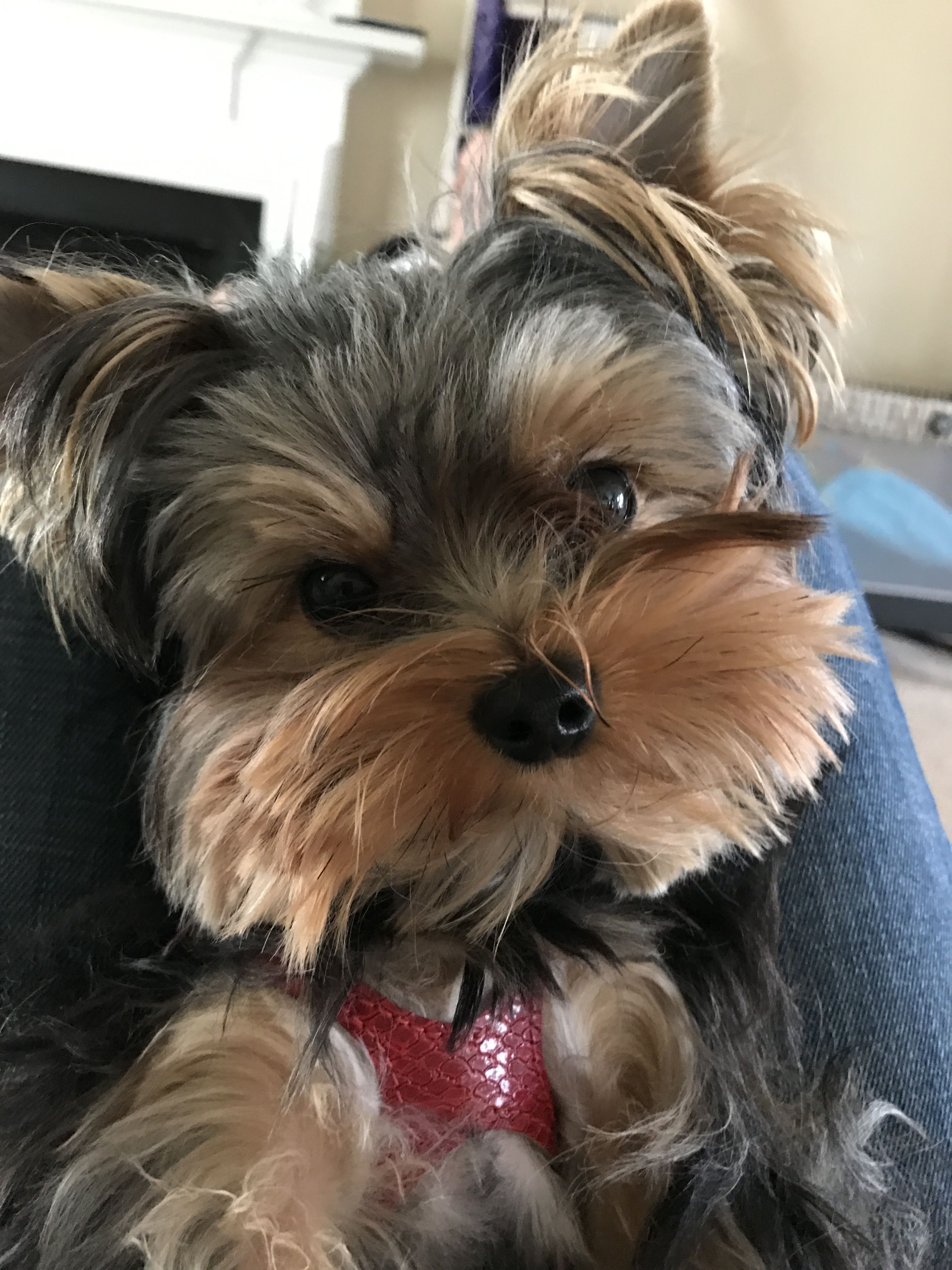 Cute As A Button Yorkshire Terrier Yorkshire Terrier Puppies Terrier