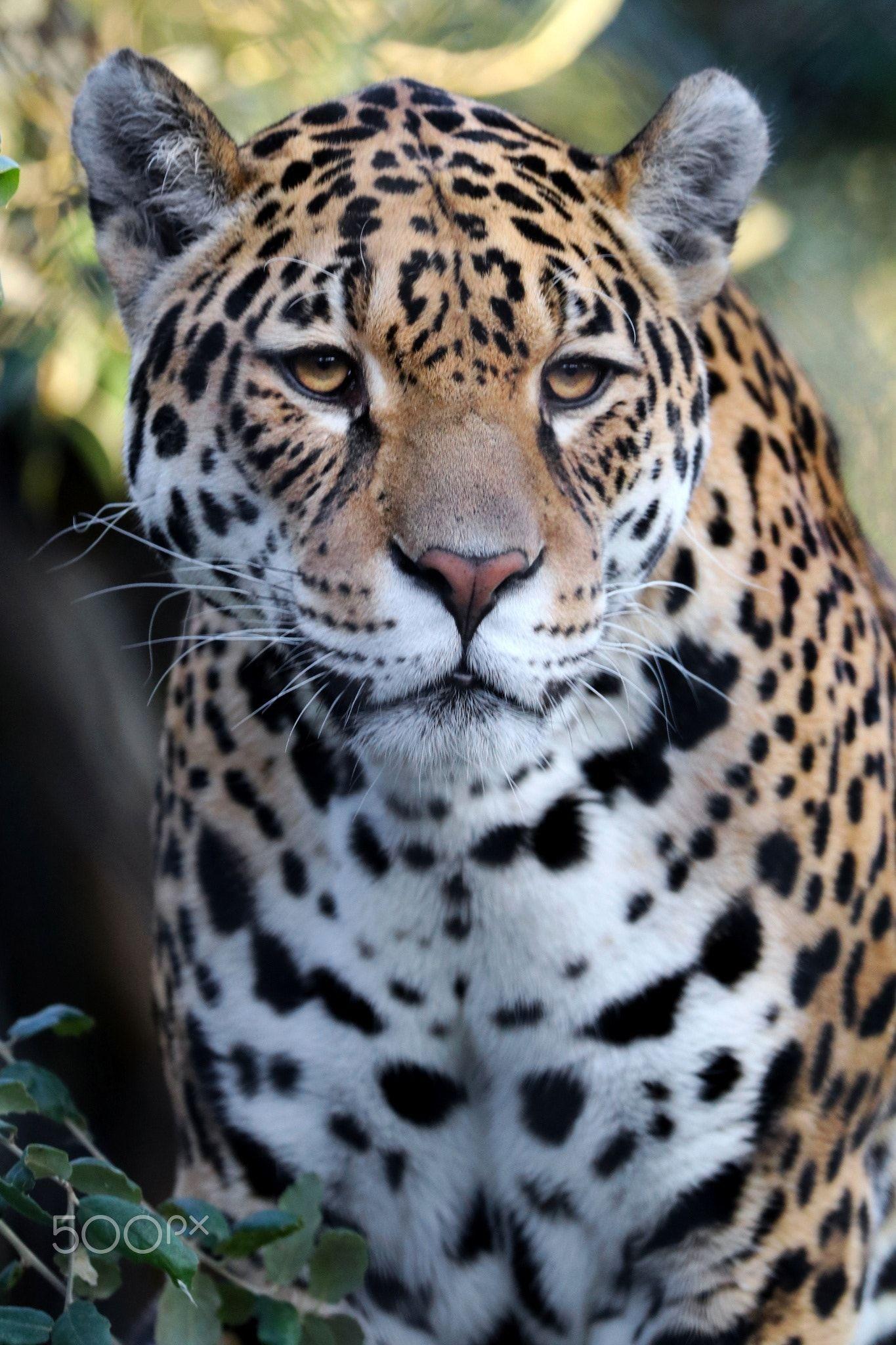 Jaguar Panthera Onca Wild Cats Animals Beautiful Feral Cats