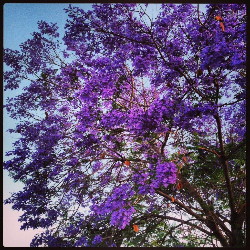 Beautiful Nature Los Angeles: Best Places To See Jacarandas In Bloom In Los Angeles