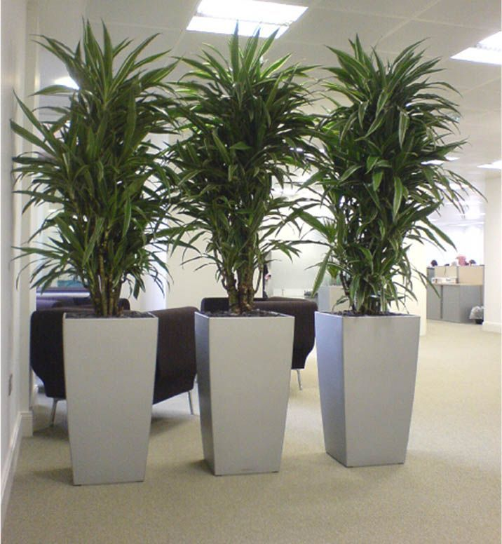 Cool Dracaena Plants In Silver Cubico Lechuza Planters Great For Low Lighting Office