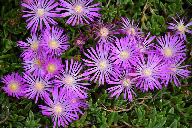 Table Mountain Ice Plant Delosperma John Proffitt At New
