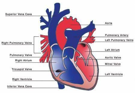 A red and blue drawing the heart with the four chambers ...