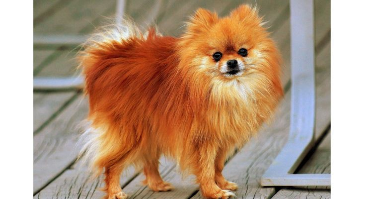 Feeding and health care information for your Pomeranian dog #Petsworld #Petcare