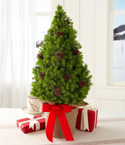 Ll Bean Christmas Trees.Woodland Tabletop Live Tree Holiday Evergreen And