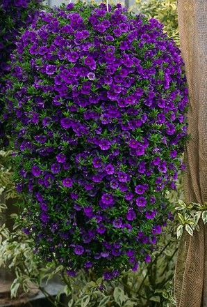 Calibrachoa Million Bells Collection Plants Million Bells Garden Planning Plants