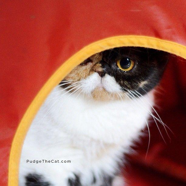 Pudge the cat    www.pudgethecat.com