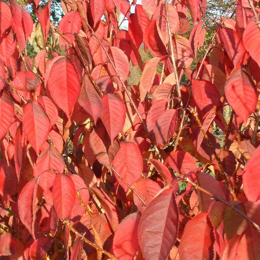 Prunus \'Beni-yutaka\' Tree | ! Plants Flowers and Trees ...