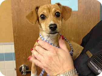 Fremont Ca Dachshund Beagle Mix Meet Penny A Puppy For