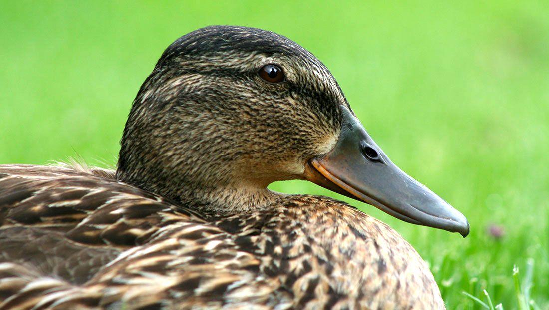 4 Reasons To Adopt Some Baby Ducks | Backyard ducks ...
