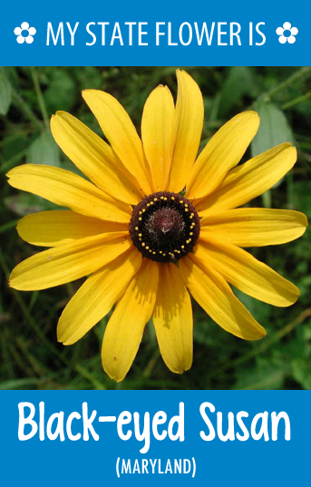 Maryland S State Flower Is The Black Eyed Susan Black Eyed Susan Black Eyed Susan Flower Flowers