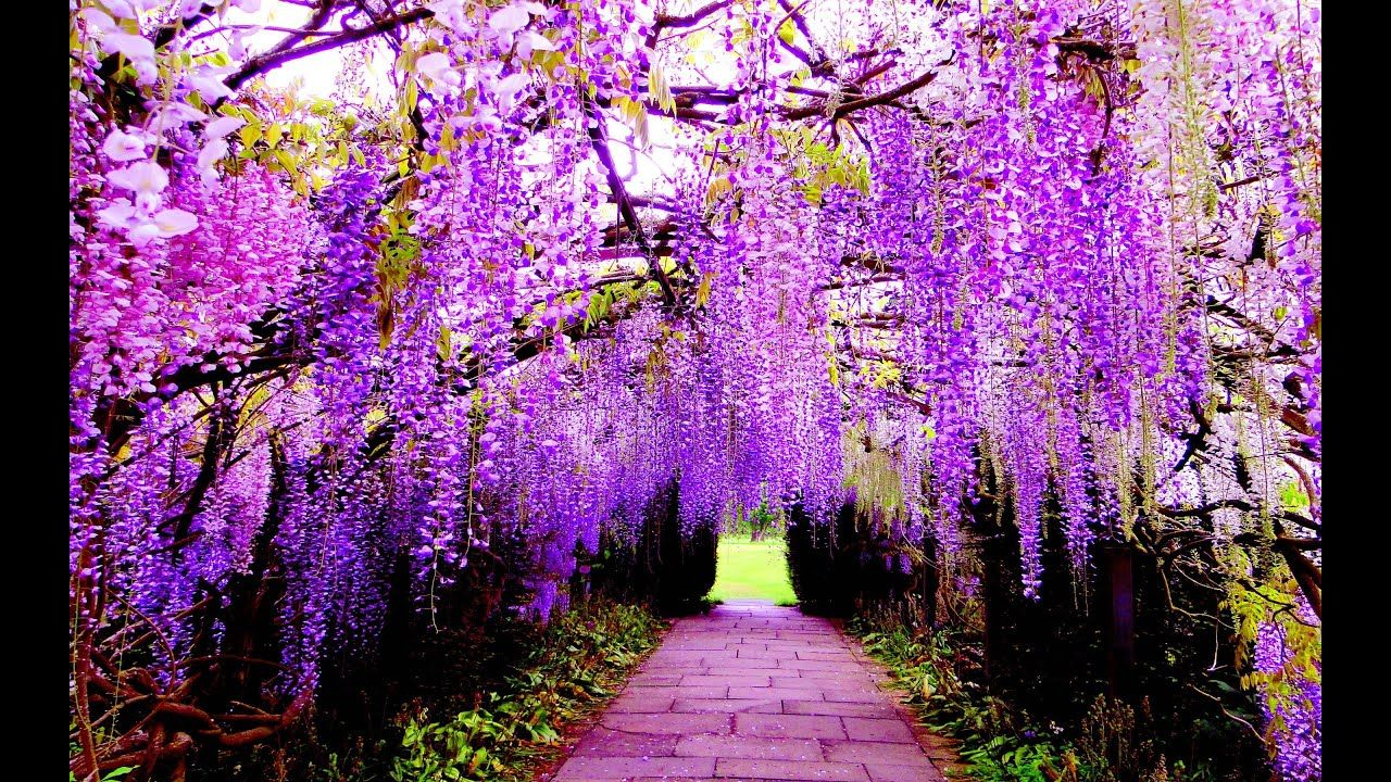 Wisteria The Most Beautiful Flower On Earth Ashikaga Flower Park Japan Most Beautiful Flowers Wisteria Tree Wisteria