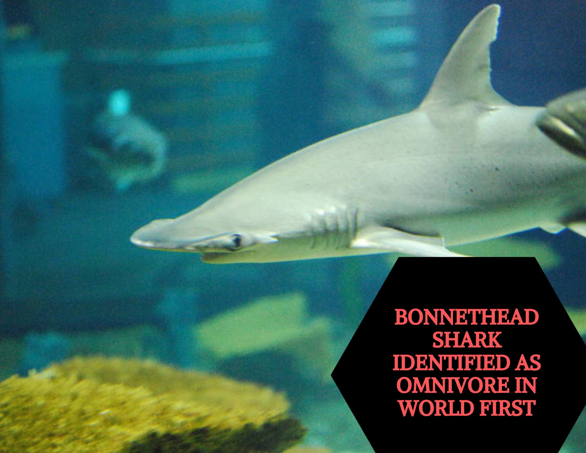The Revelation That The Bonnethead Shark Is An Omnivore