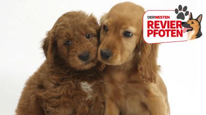 Hunde Fur Allergiker Und 5 Nicht Haarende Hunderassen Im Uberblick Hunderassen Hunde Rassen Haustiere