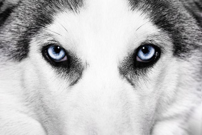 40++ Hund grau blaue augen Sammlung