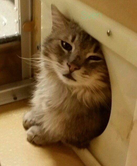 Sven For Adoption At Cambridge Petsmart Adoption Cats