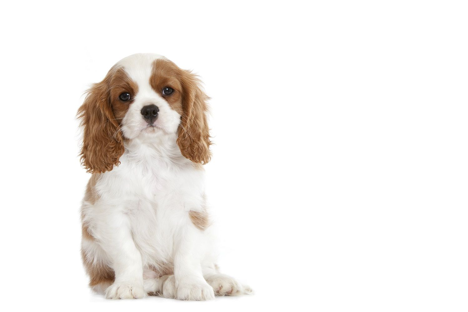 Le #chiot Cavalier King Charles