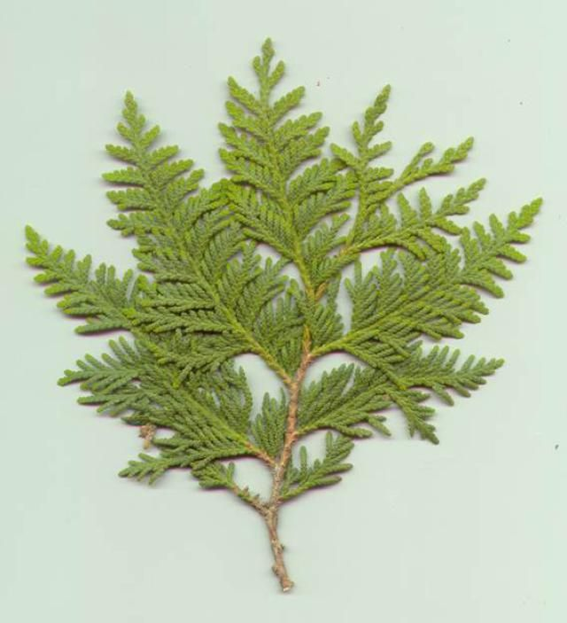 Cedar Leaf Planted In Zarathustra Paradise Heavenly Leaf Was Bent Under The Weight Of The Arab Invasion And Mus Cedar Plant Cedar Trees Plant Identification