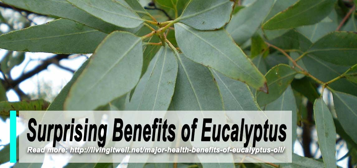 List Of Eucalyptus Health Benefits Health Benefits Health Eucalyptus Oil