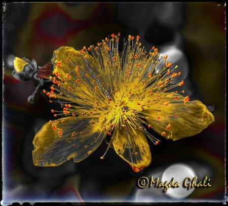 Millepertuis (Hypericum perforatum) Photo by Magda Ghali — National Geographic Your Shot
