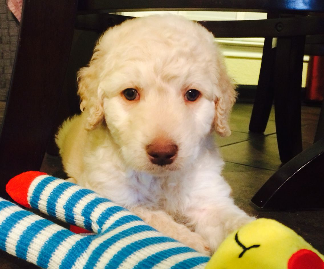 My Beautiful F1b Standard Goldendoodle 6 Weeks Cream Color