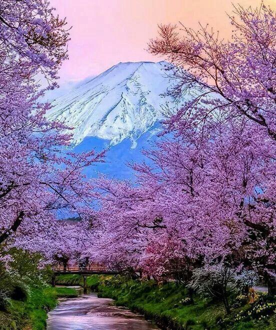 Cherry Blossoms Resor Landskap Resa