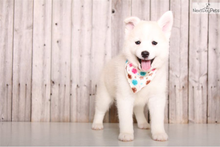 Snowy Pomsky Puppy For Sale Near Columbus Ohio C3e05358 14c1 Puppies Pomsky Puppies For Sale Pomsky Pomsky Puppies