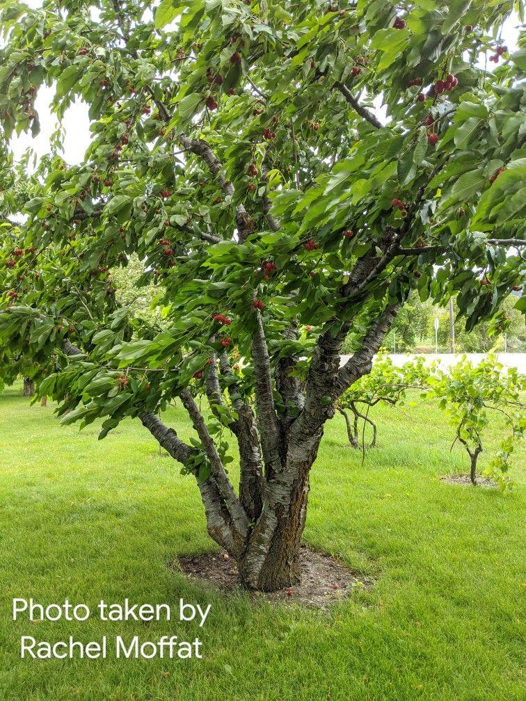 Prunus Avium Bing Bing Cherry Tree Zone 4 35 Tall 25 Wide Plant Identification Tree Plants