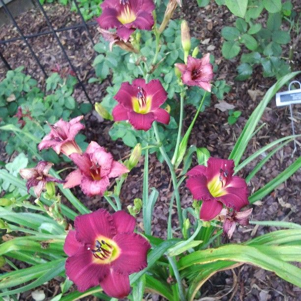 """Yes, We Grow More Than Just Roses! """"Pardon Me' Daylilies"""