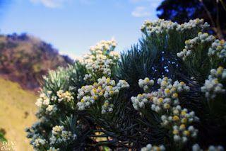 Bunga Keabadian Edelweis Dan Mitosnya Blog Sastra Indonesia Bunga Gambar Bunga Templat Bunga
