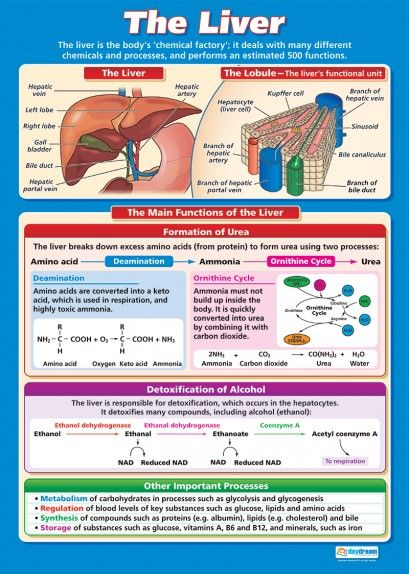 The Liver Poster | Nursing student by day | Pinterest | Medicina ...
