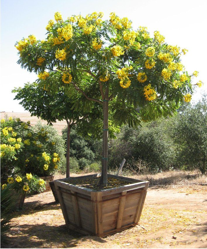 Rare Gold Medallion Tree Cassia leptophylla 8 Seeds OUTDOOR