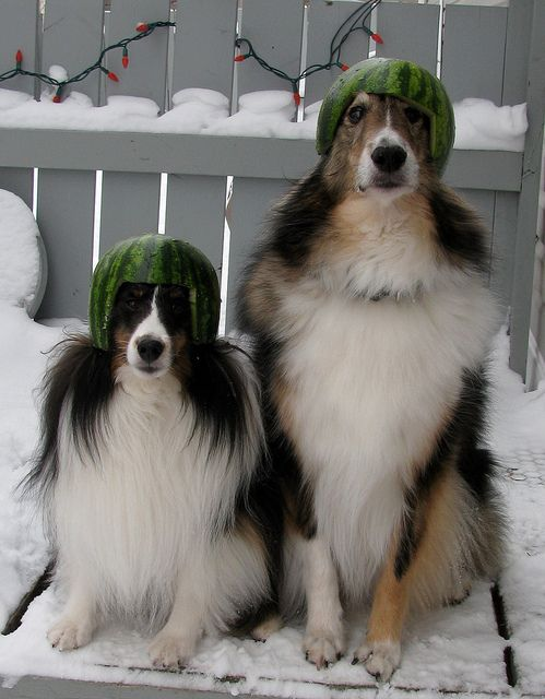 Shelties In Riderville Animals Images Kittens Cutest Cute Animals