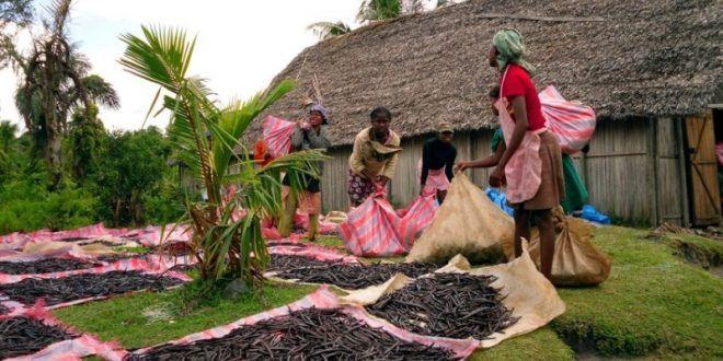 صور: جمال مزارع الفانيليا في مدغشقر