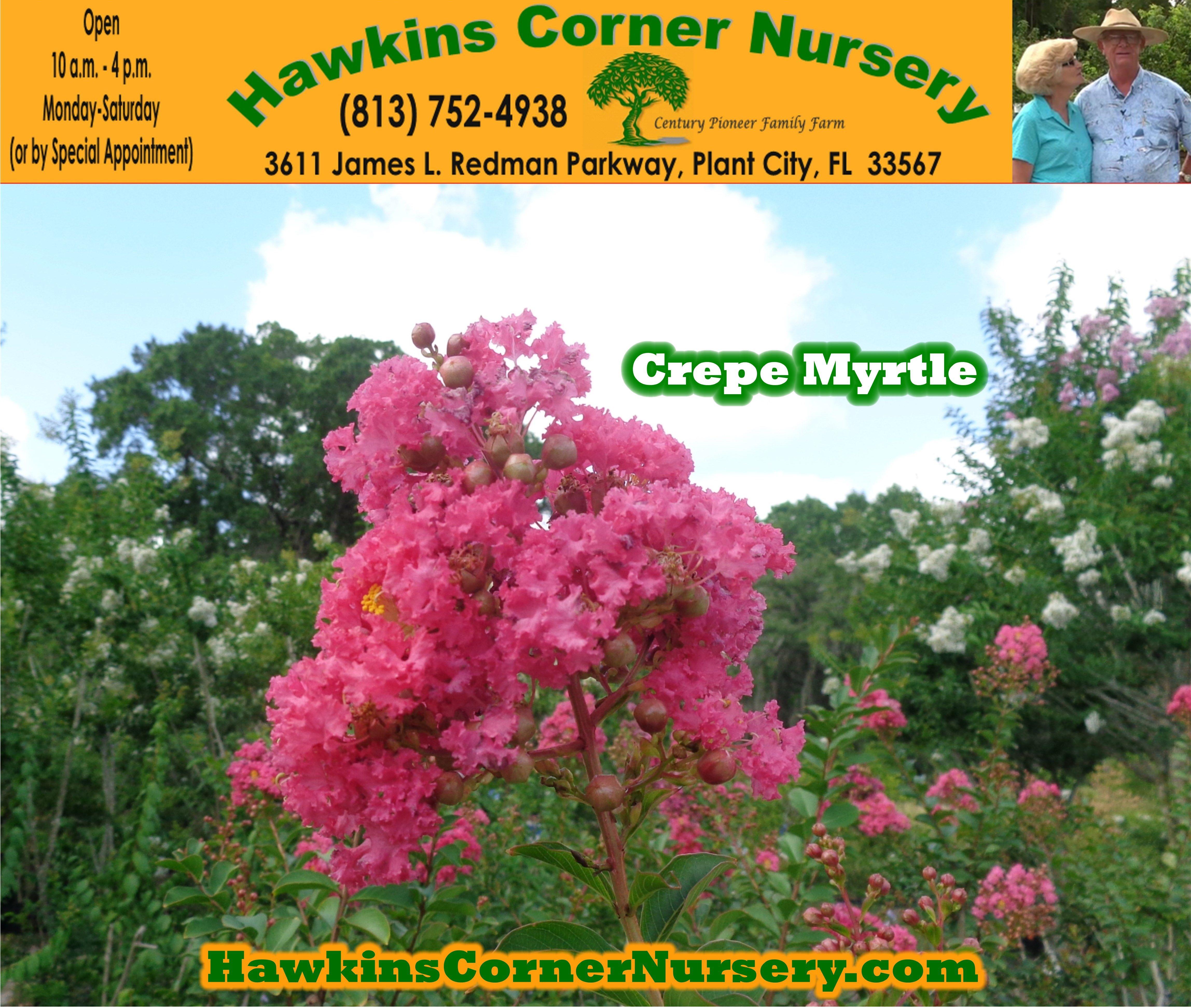 Crepe Myrtle By Hawkins Corner Nursery Plant City Fl 33565 Http
