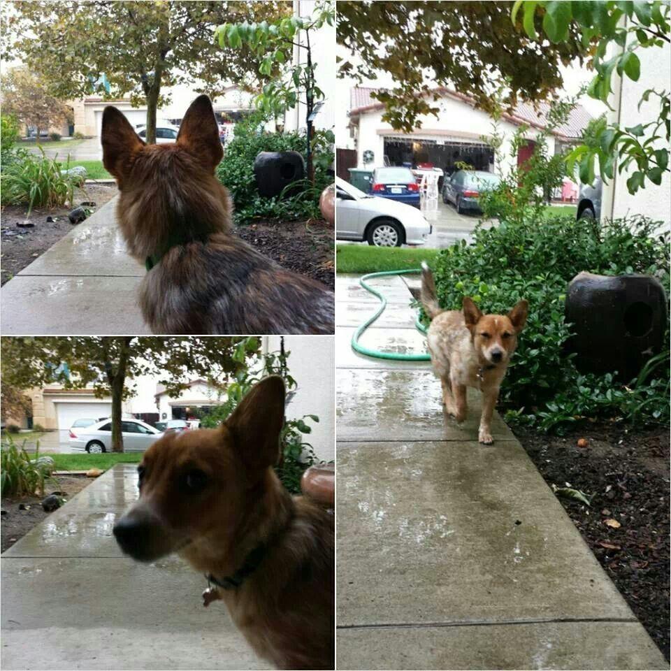 Kiki my puppy / Chihuahua and Queensland heeler mix
