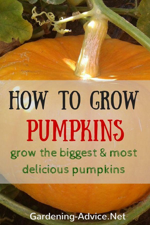 Growing Pumpkins How To Grow The Biggest Pumpkins Spring Splender Fruit Garden Biggest Pumpkin Planting Pumpkin Seeds