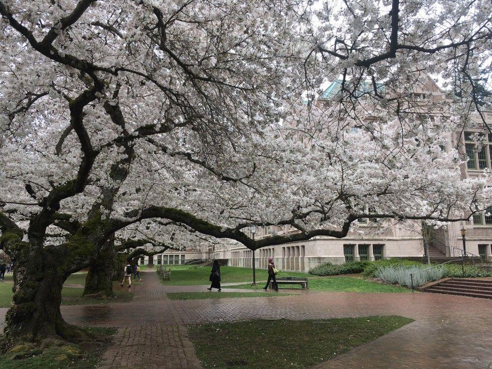 Cherry Blossoms In Seattle Yoshino Cherry Tree Cherry Tree Cherry Blossom