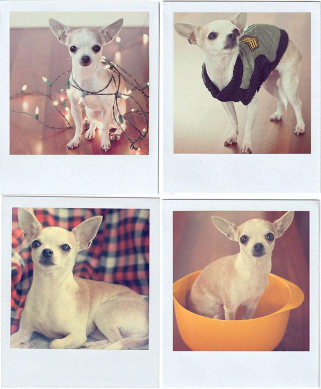 Chihuahua polaroids!  foxinthepine.com