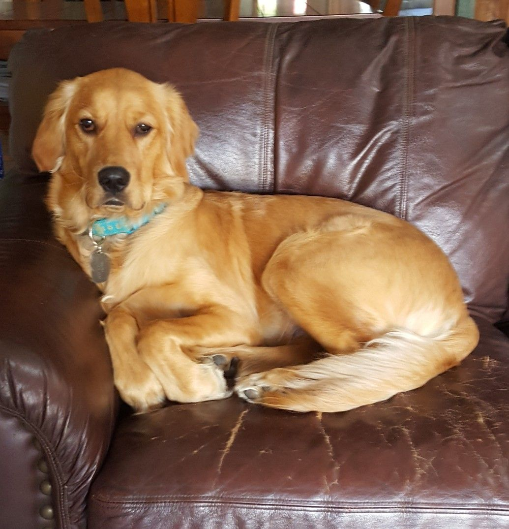 Coco 9 Month Old Golden Retriever Beautiful Puppy Lab Dogs