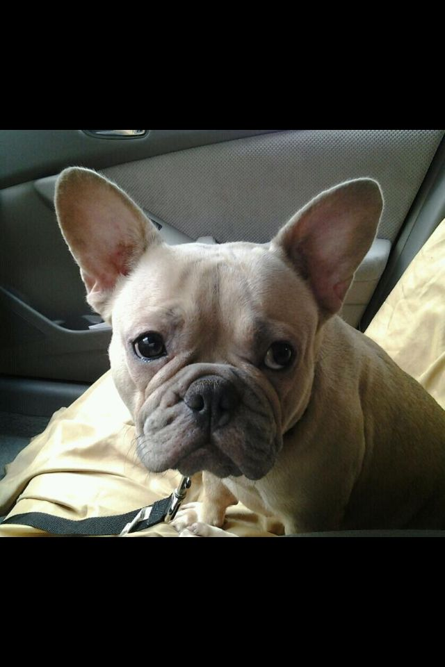 Frenchie French Bulldog Bulldog Cute Animals