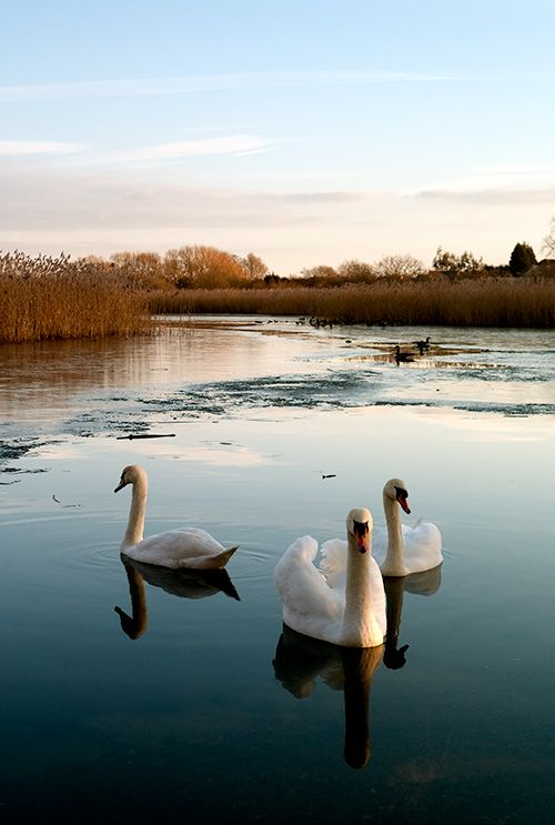 by Eric Perlberg. London + winter + swans, swoon. | Лебедь