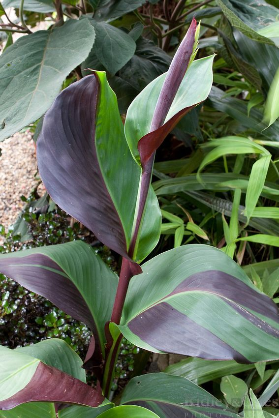 how to grow canna lilies from seed