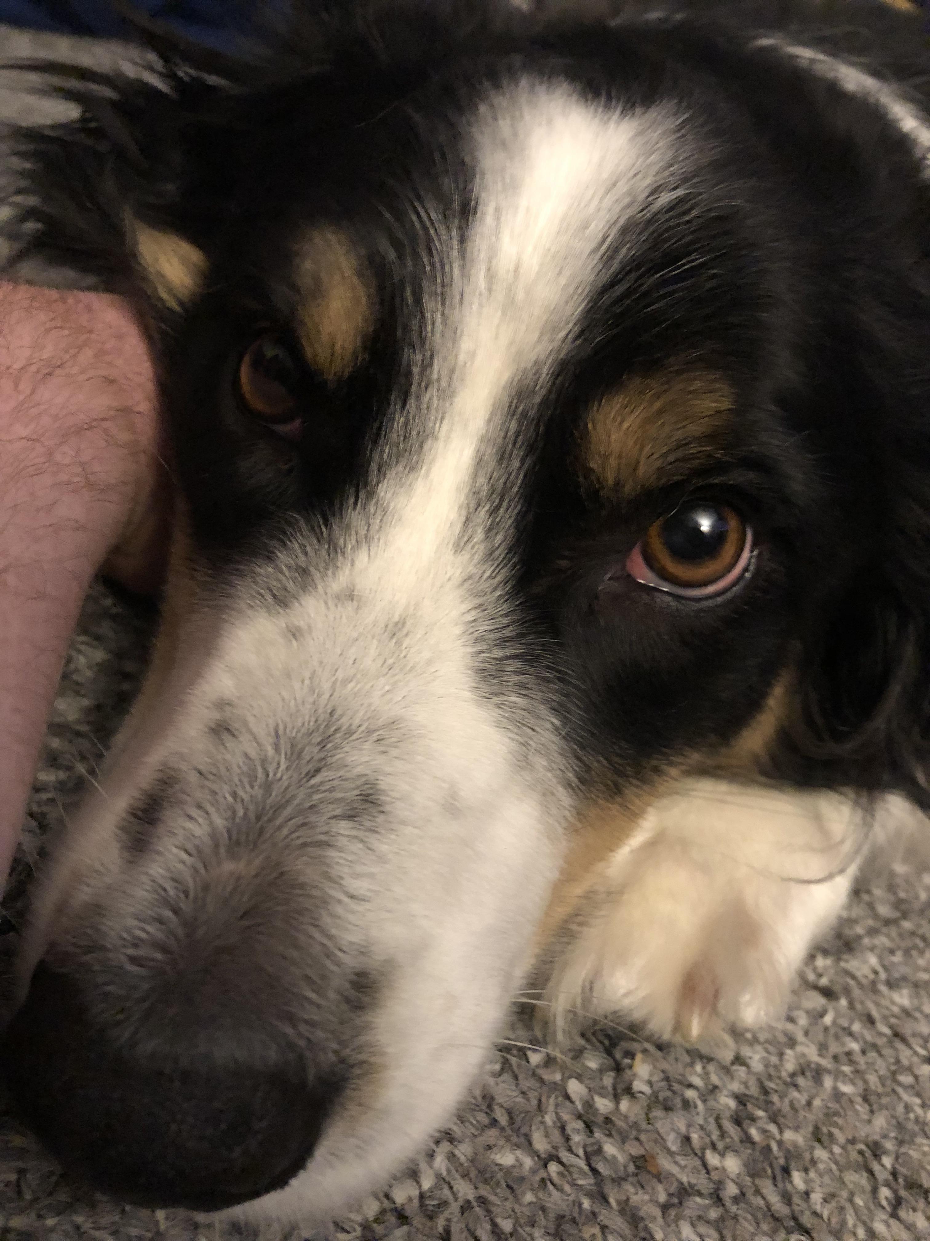 to Australian shepherd, Cute dogs, puppies, Dogs