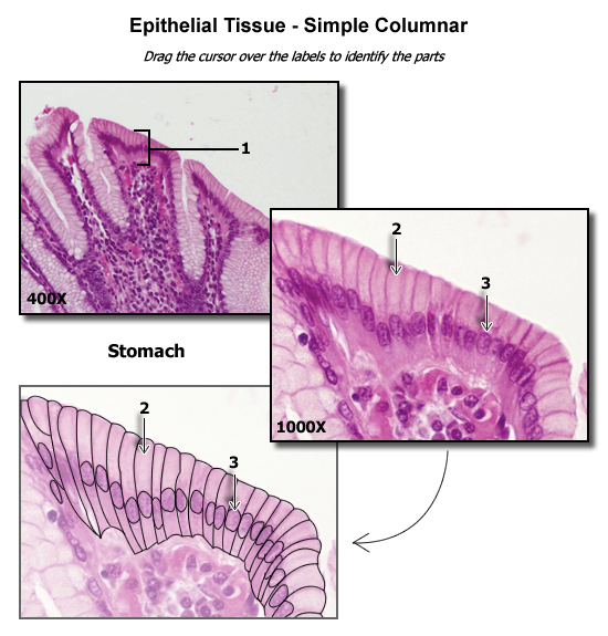 Simple Columnar Epithelium Human Anatomy Physiology