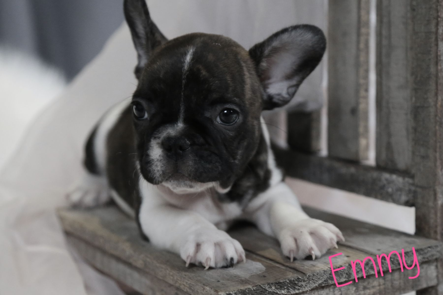 Emmy Female French Bulldog from Ewing, Illinois. Find