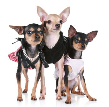 Chihuahua Clothes And Accessories At The Chihuahua Wardrobe Cute