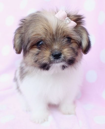 Shiranian Designer Breed Puppy For Sale By Teacupspuppies Com