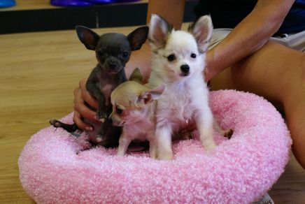 Chihuahua Puppies Open Their Eyes The Cutest Puppies Toy