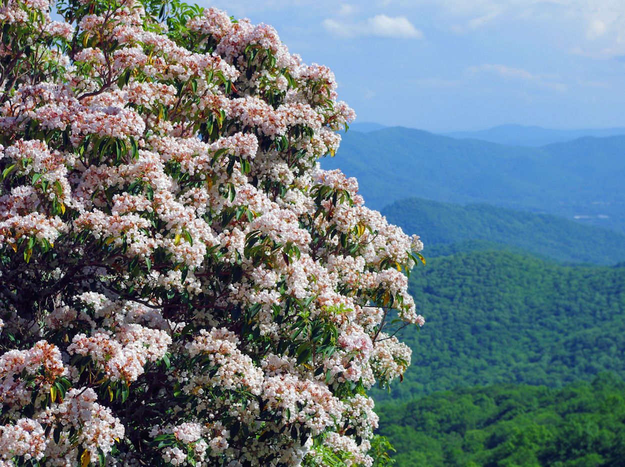 Mountain Laurel Blooming On The Blue Ridge Parkway In The North Carolina Mountains Blue Ridge Parkway Mountain Laurel Blue Ridge